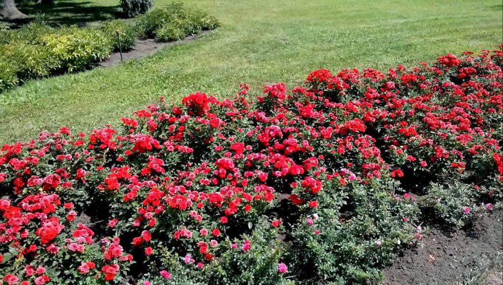 Бордюрная роза, растущая в саду