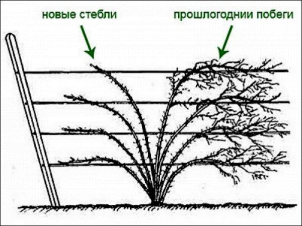 Схема обрезки отплодоносивших веток ежевики