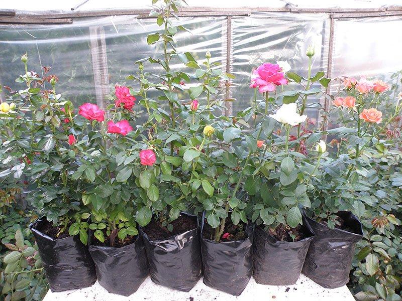 Саженцы роз для посадки