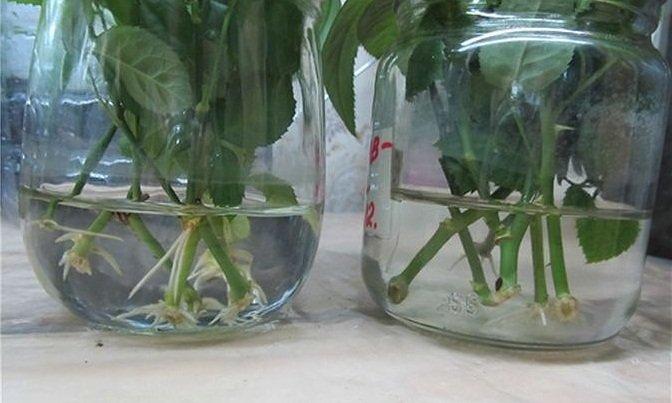 Выращивание черенка розы из букета