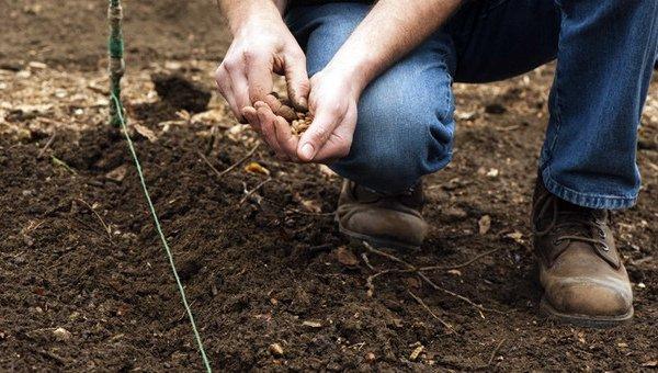 Посев семян редьки в грунт