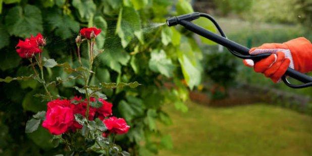 Подкормка розы кальциевой селитрой