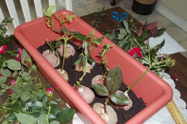 Выращивание черенка розы в картофеле