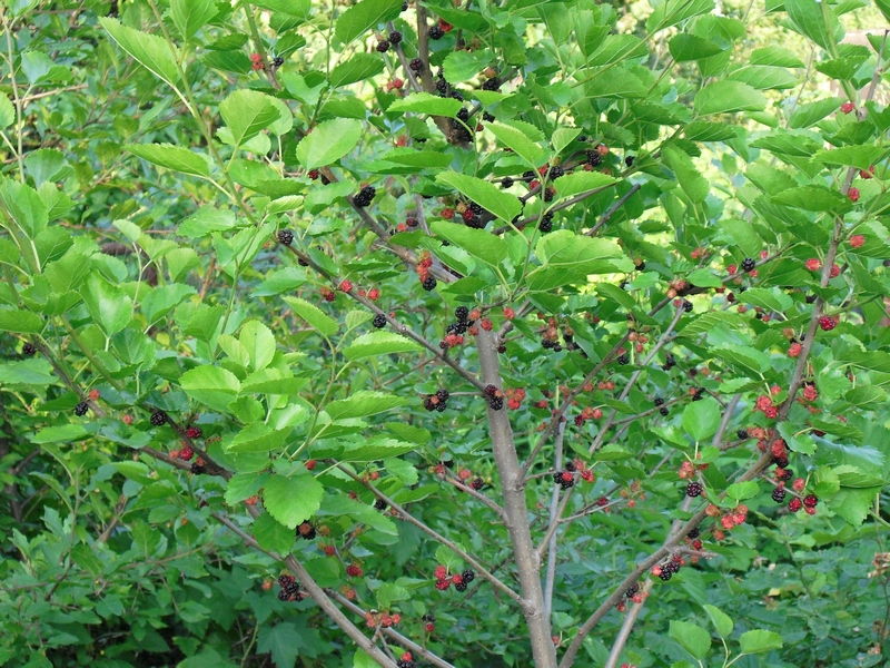 Шелковица, растущая в саду