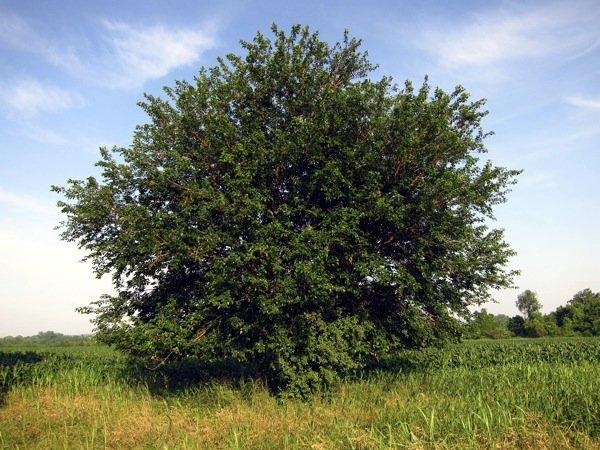 Шелковица, растущая на поляне