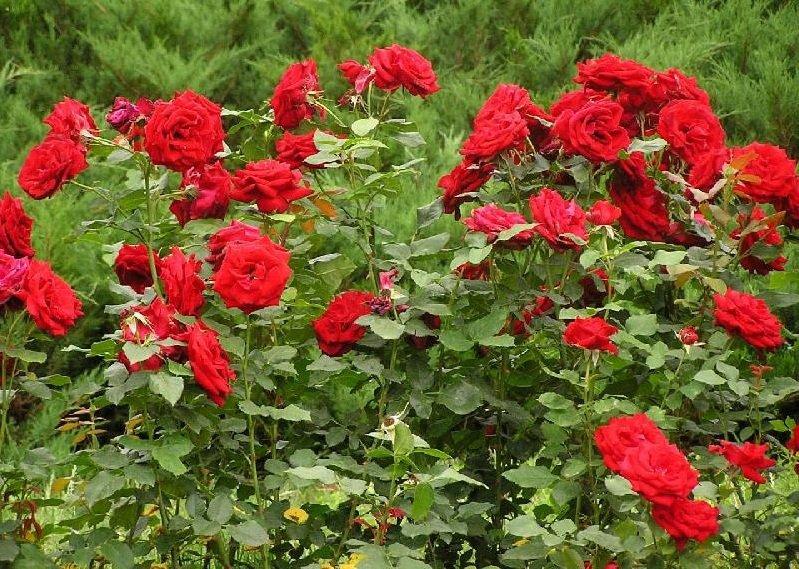 Цветущий куст красных роз