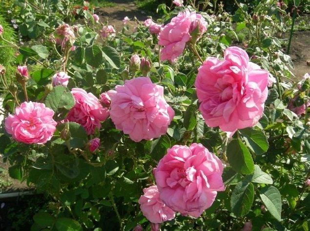 Куст парковых роз
