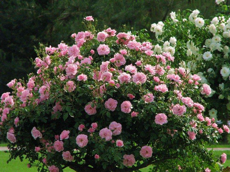 Куст розовых роз