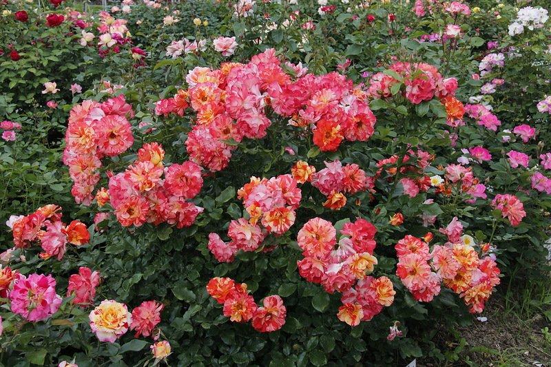 Куст розы полиантовой