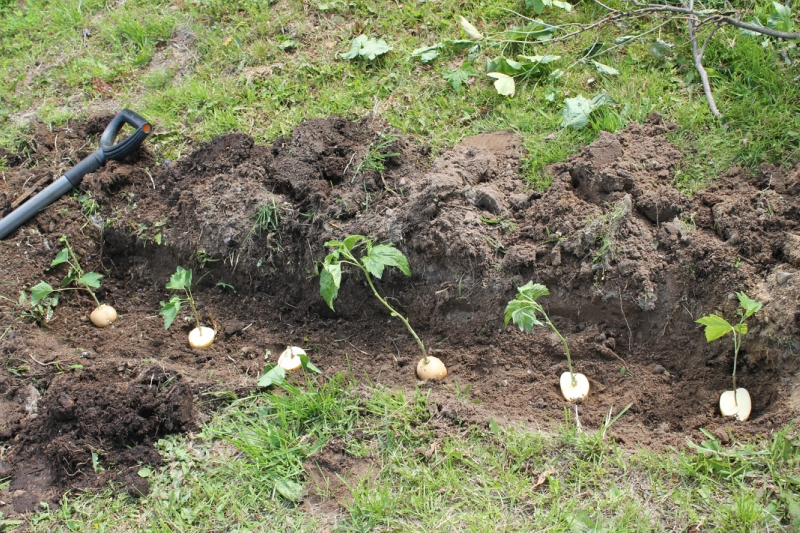 Траншея для посадки саженцев роз в картофеле
