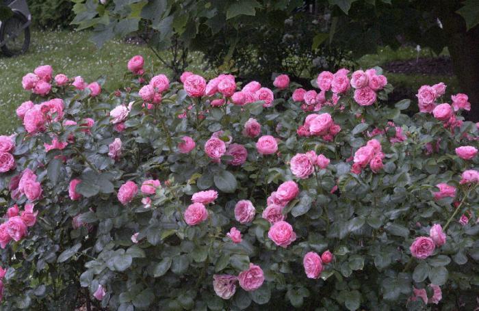 Цветник из роз да Винчи
