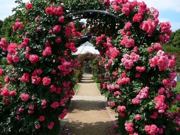 Арка, обнесенная розами плетистыми