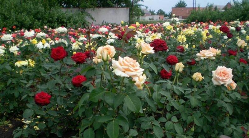 Различные виды роз, растущие на даче