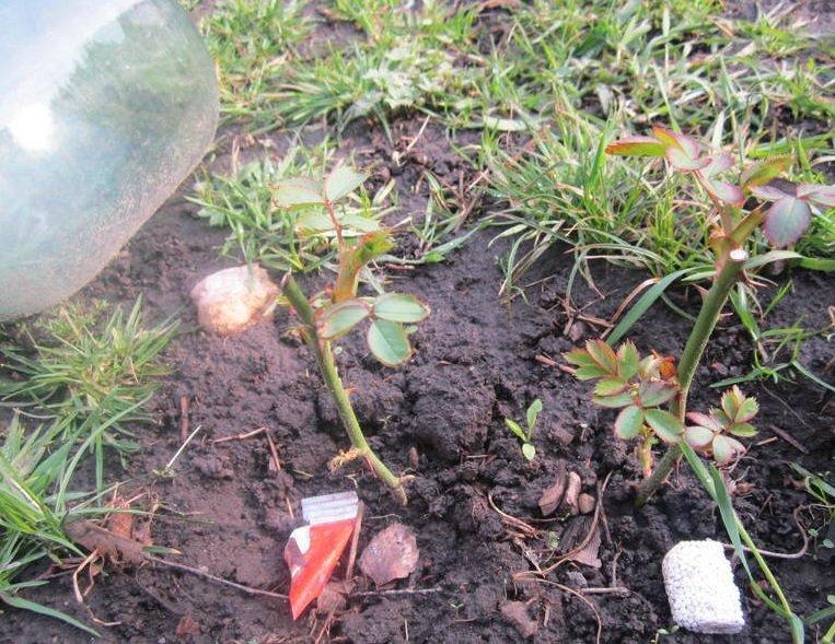 Черенки розы, посаженные в почву