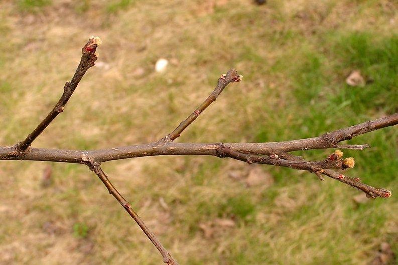Побег фруктового дерева айвы