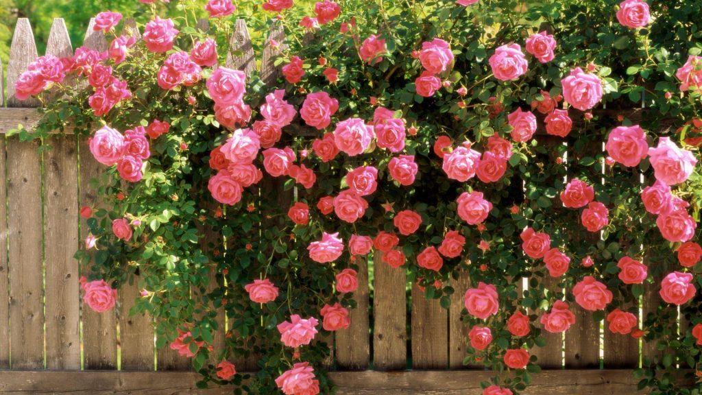 Розы плетистые на заборе