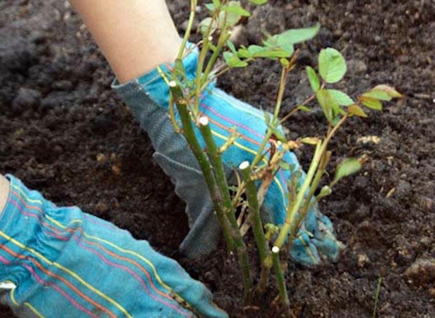 Уплотнение и разравнивание грунта при посадке куста