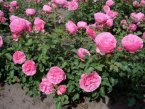 Леонардо да Винчи - красивейший куст розы