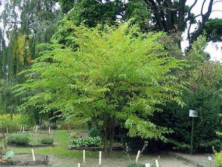 Декоративное дерево шелковицы в саду