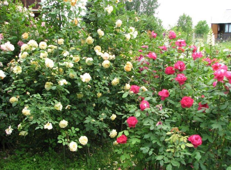 Белые и розовые кусты Бенджамин Бриттен
