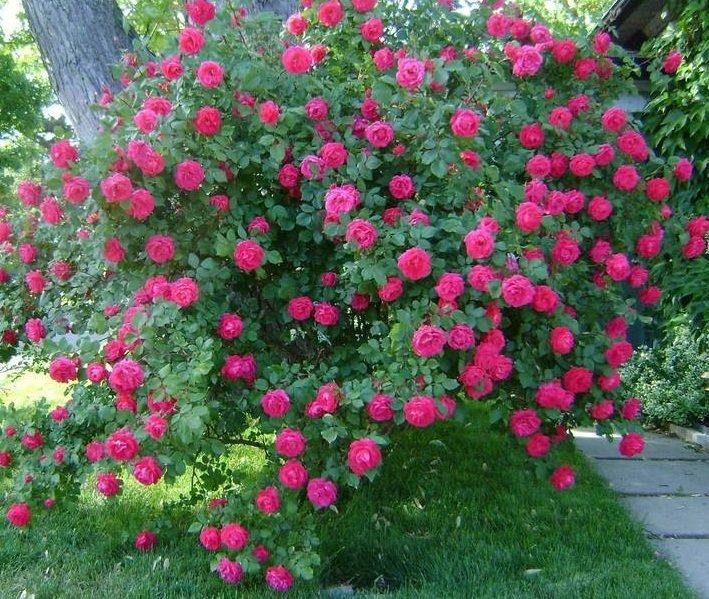 Сорт роз Alexander MacKenzie