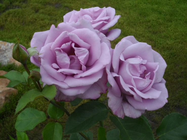 Розы сорта Блю мун