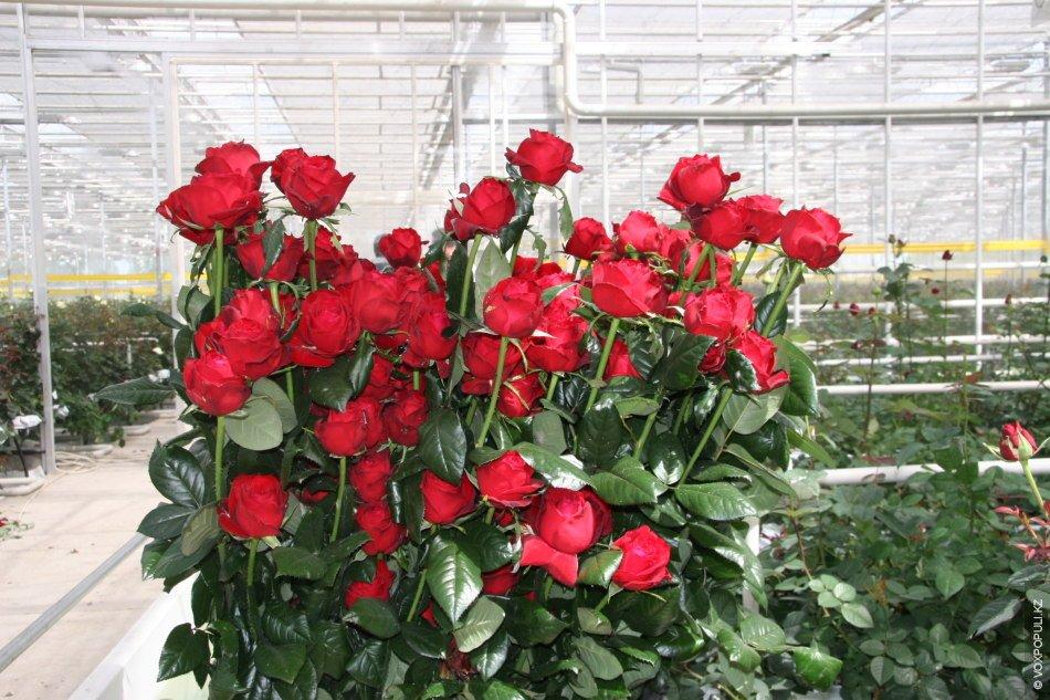 Букет роз голландских в теплице