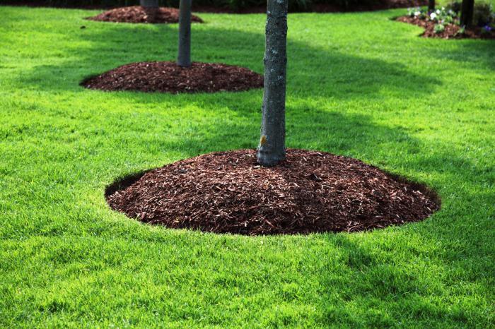 Мульчирование земли вокруг дерева