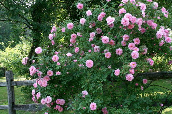 Куст розы Charles Albanel