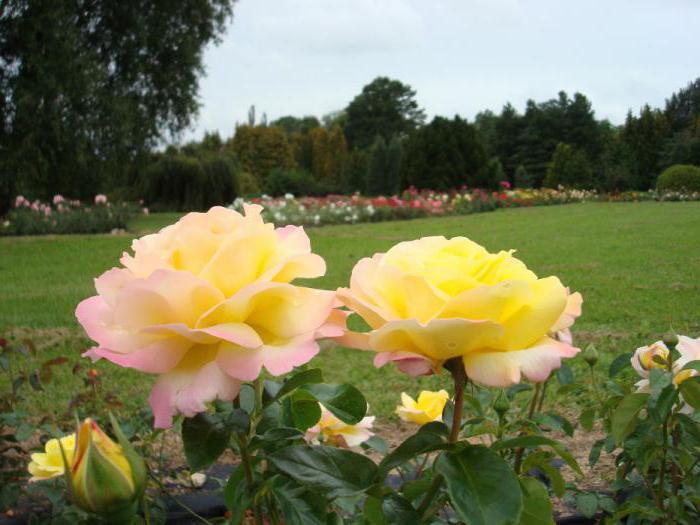 Распустившиеся бутоны розового куста