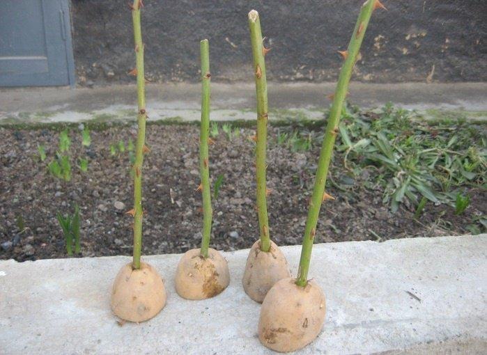 Выращивание роз в картофеле
