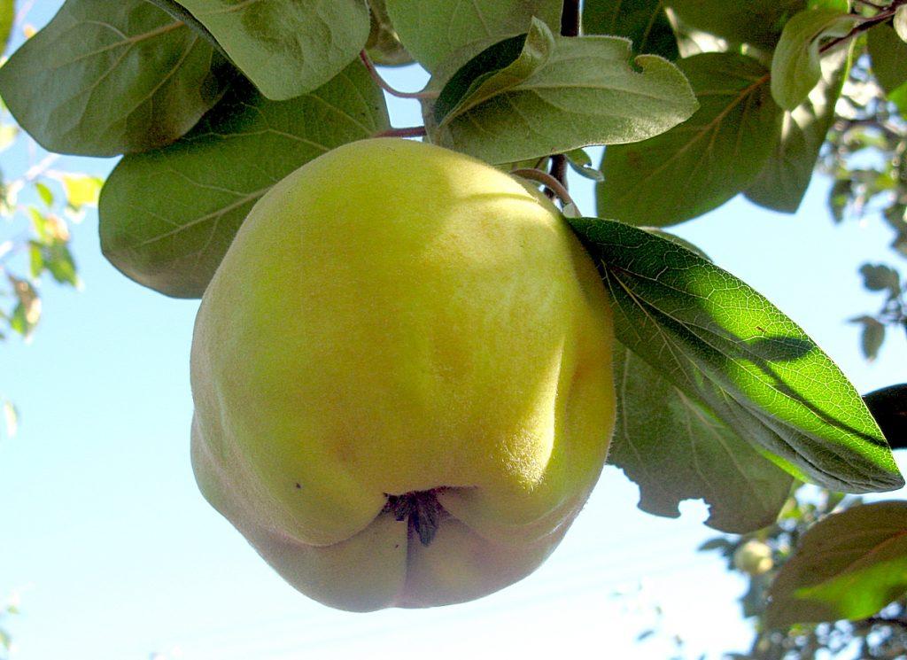 Фруктовое дерево сорт «Масленка ранняя»