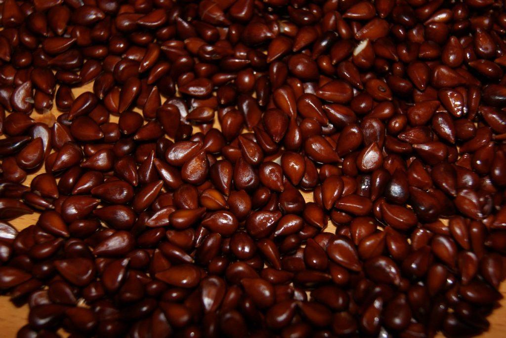 Семена айвы для посадки
