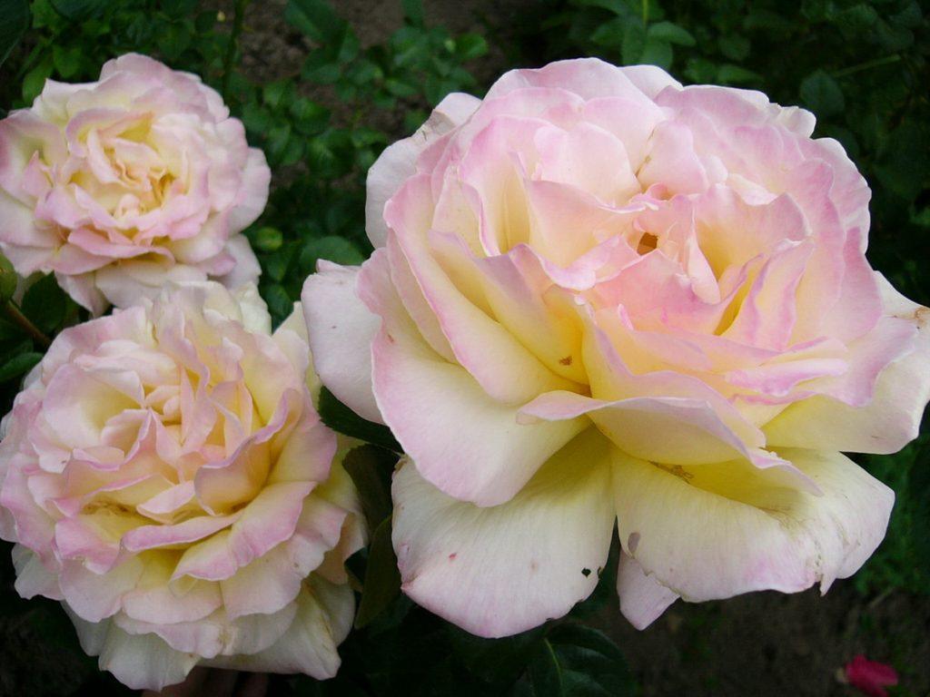 Глория Дей - нежная роза