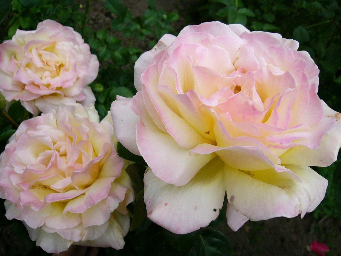 украсить потолок сорт розы глория дей фото театра псевдорусском стиле