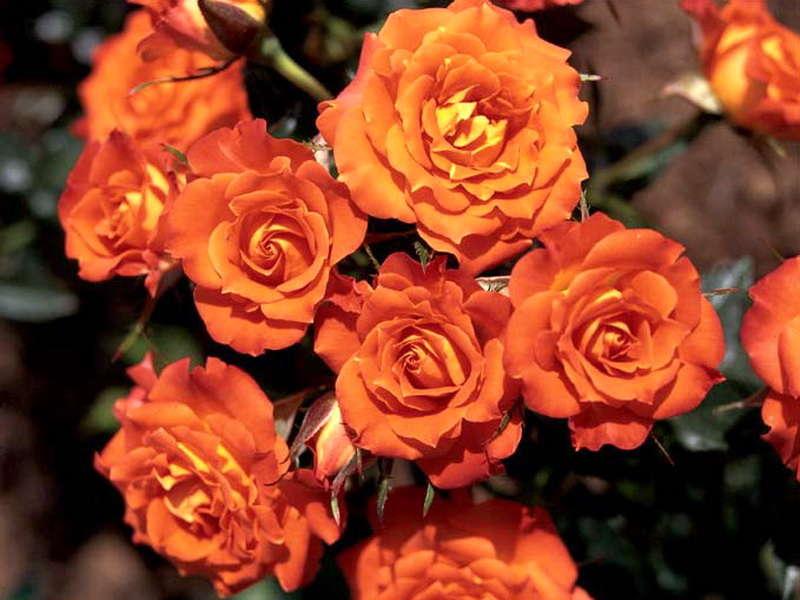Яркий Оранж Триумф