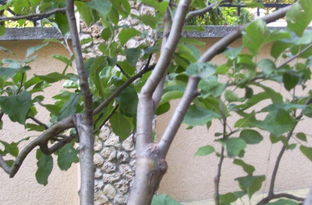 Привитая груша весной