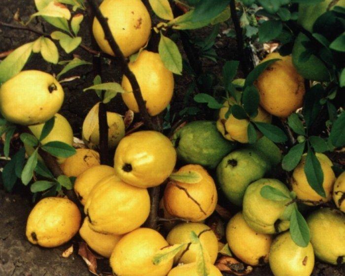 Плоды фруктового кустарника