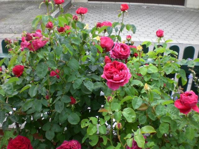 Гибридные розы Othello