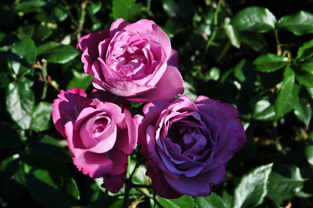 Сорт розы «Blue River»