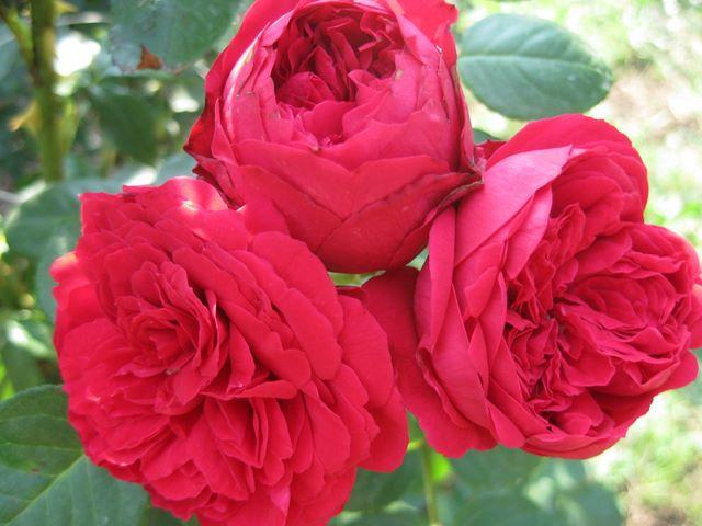 Цветки розы Ред Эден Роуз
