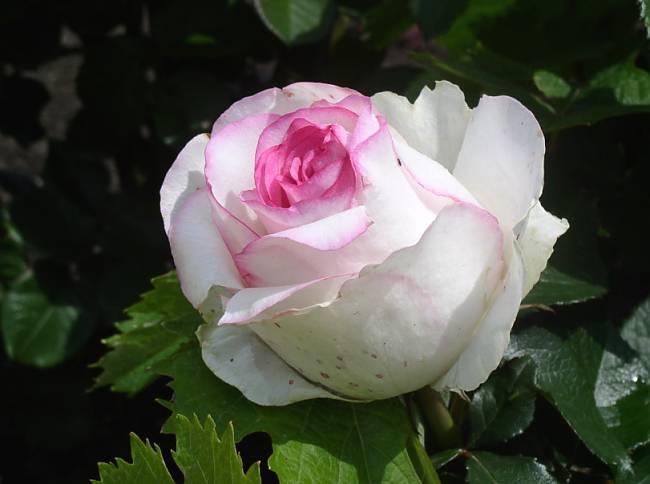 Нежный цветок - Дольче Вита