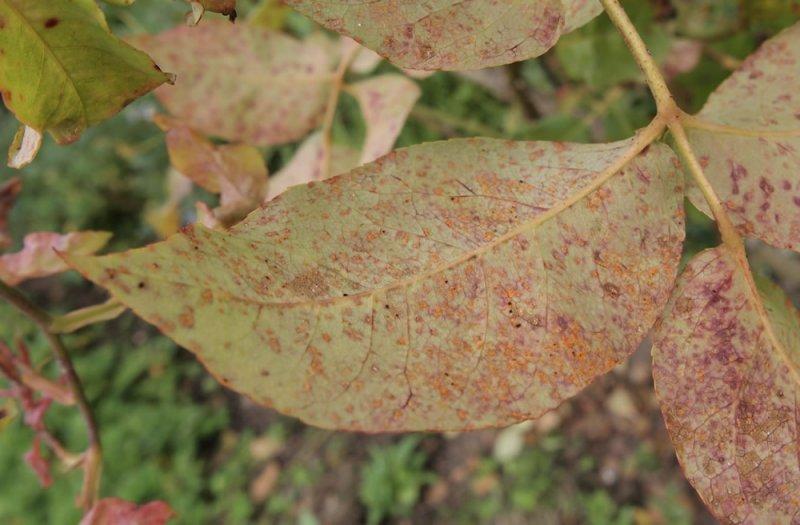 Ржавчина на листьях дерева