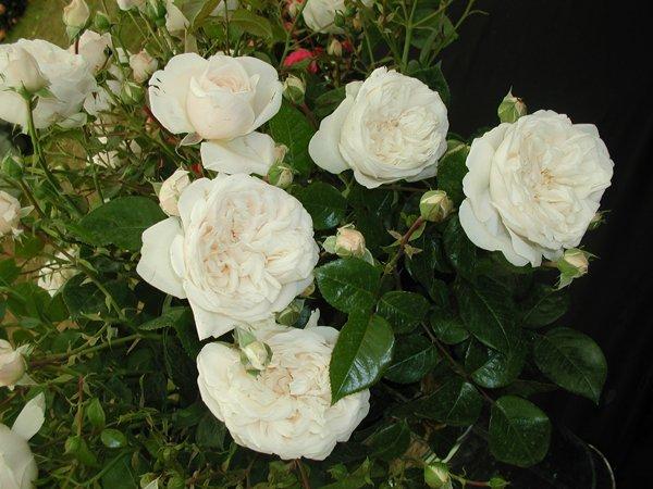 Цветки розы Саммер Меморис