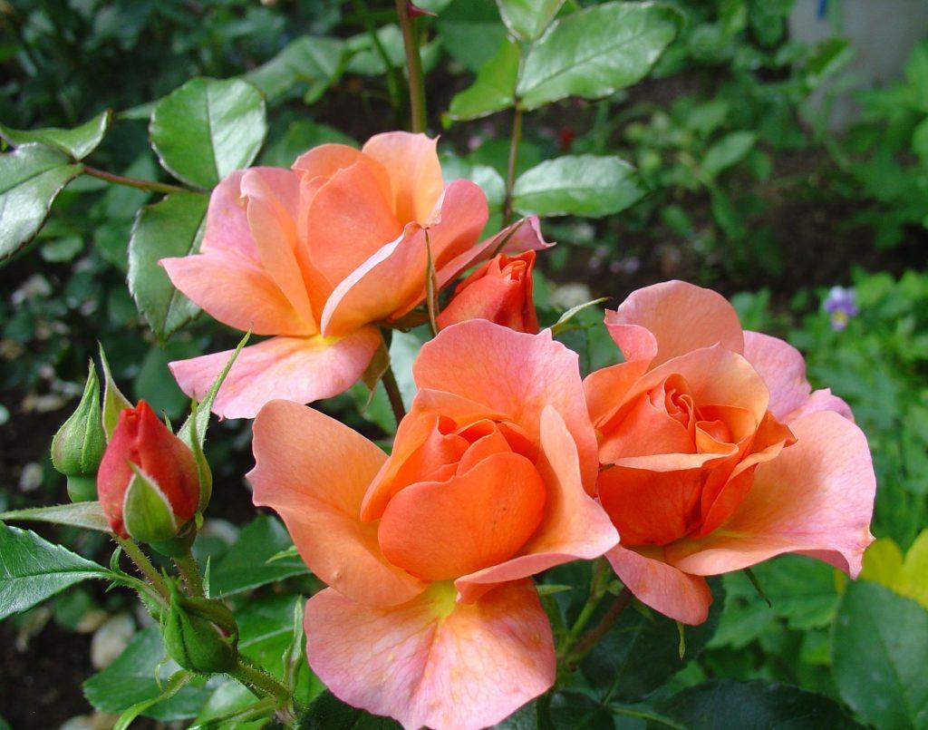 Полиантовая Ангельская роза