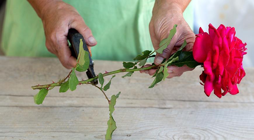 Обрезка розы из букета для посадки