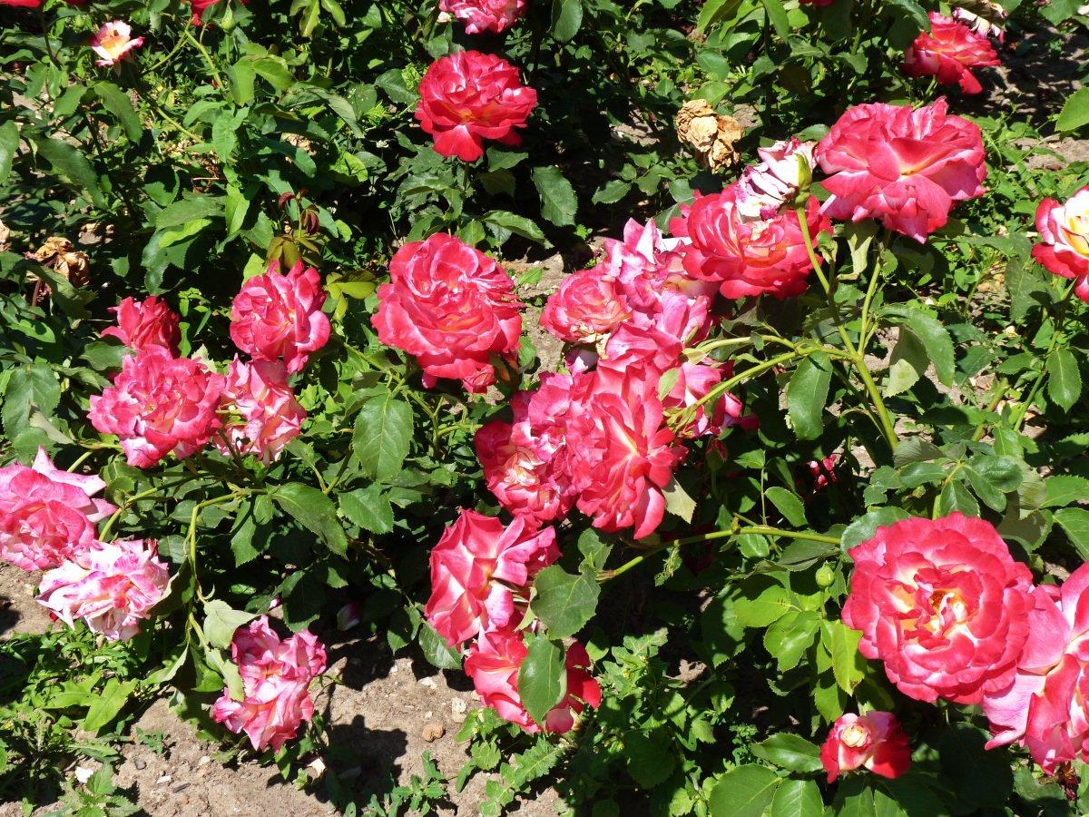 роза дабл дилайт фото и описание запросу