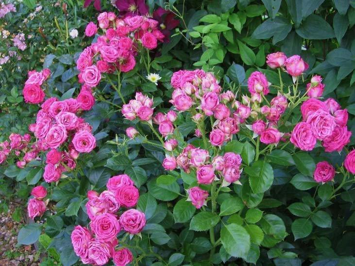Сорт кустовой - Лавли Лидия