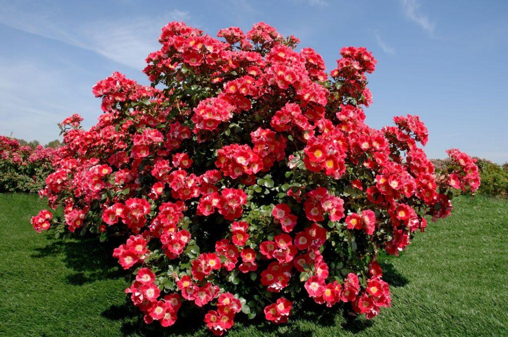 Парковые розы, растущие в саду
