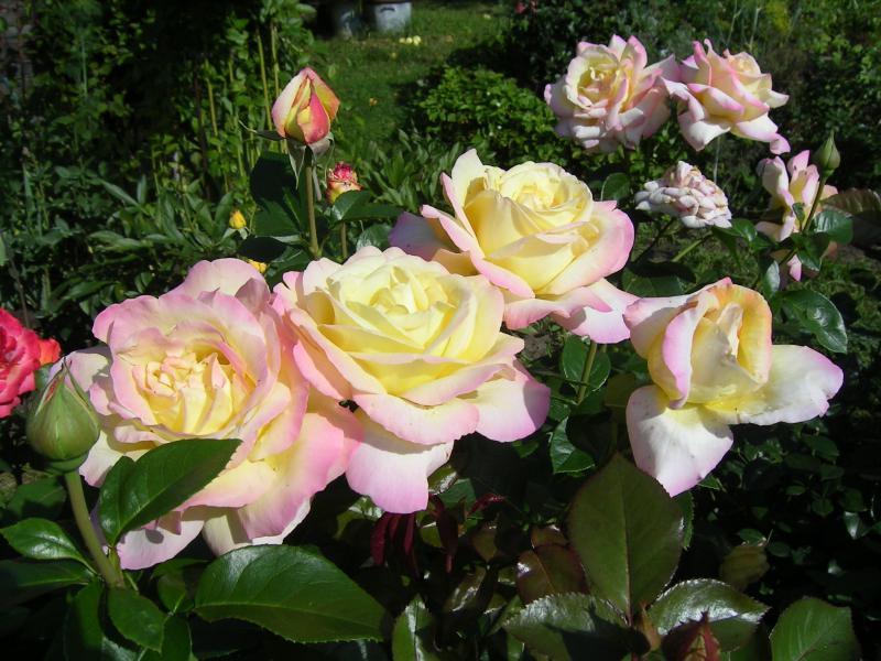 Чайно-гибридная роза, меняющая цвет